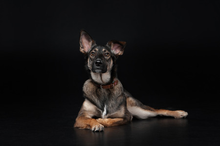 mixed breed dog lies on the black background