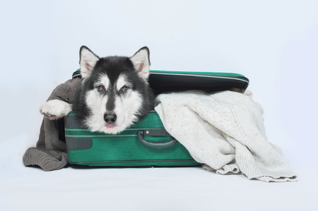 big dog malamute lies in the suitcase or bag and waiting for a trip Stock Photo