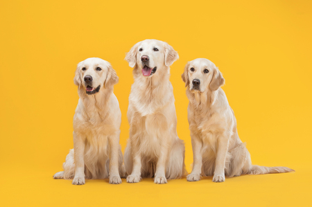 Three Labrador Retriever dogs isolated against a yellow background