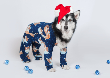 Alaskan malamute dog in pajamas and satntas hat stands on the white background