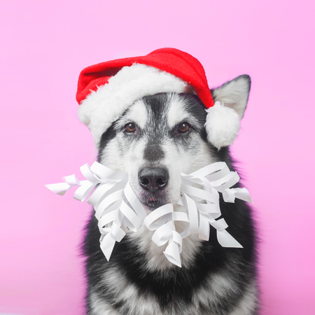alaskan malamute in Christmas and new year costume on pink background