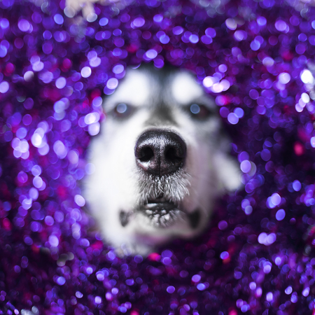 alaskan malamute dog dressed in sparkling christmas decoration