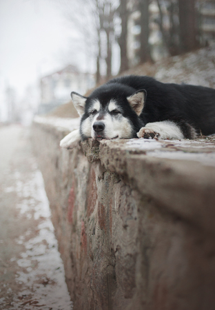 Sad dog lays on the stone elevation Stock Photo
