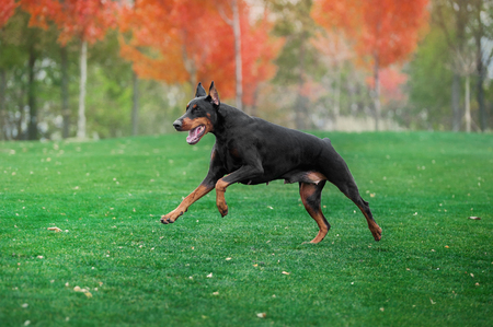 Black doberman pinscher runs on green grass