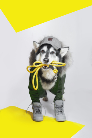 alaskan malamute dog in parka and baseball cap stands on white background and holds leash in the mouth