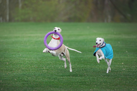 two grayhounds dog play with ruber ring in park Stock Photo