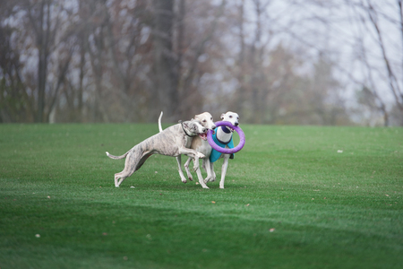 two grayhounds dog are playing with ruber ring in park
