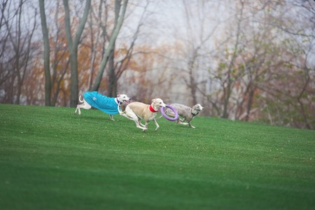 three grayhound dogs run fast across the green field