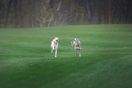 two grayhound dogs run through the green filed Stock Photo