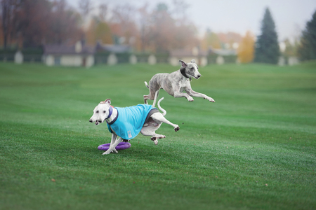 three grayhound dogs are playing and jumping in park