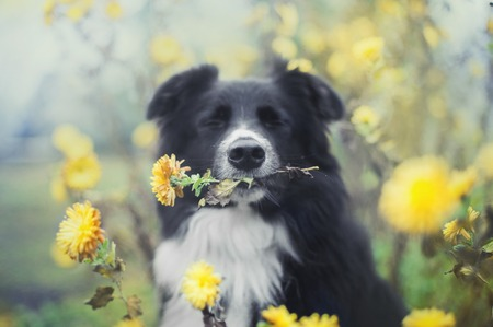 dog with a yellow flower in a mouth