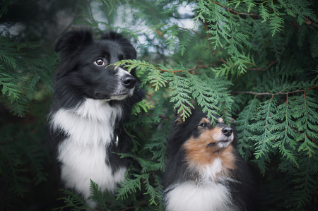 border collie and sheltie dogs sitting together near a green plants Stock Photo