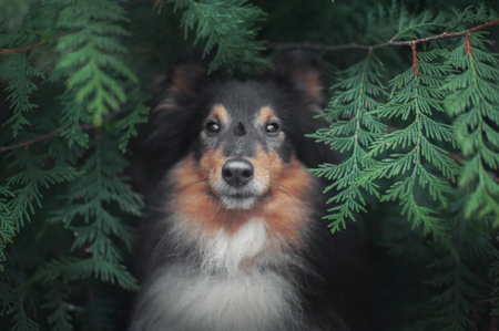 portrait of Shetland sheepdog in green plants