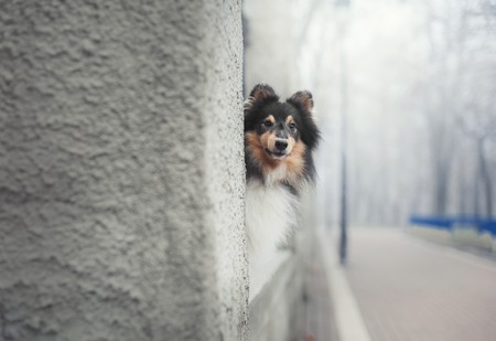 shetland sheepdog hiding behind a wall
