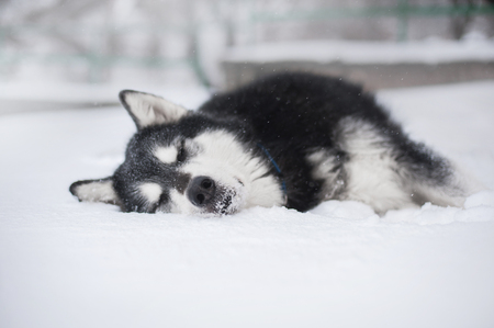 Alaskan malamute dog lying in the snow