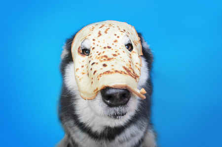 Alaskan malamute dog in the pancake mask