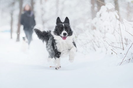 Border collie dog running in snow