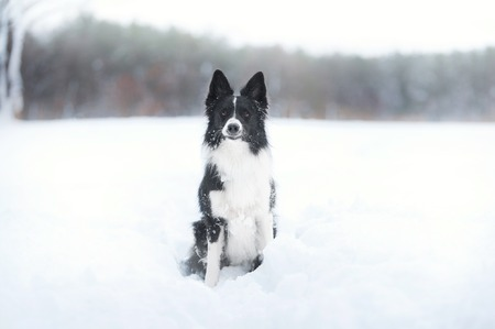 Border collie dog sitting in snow
