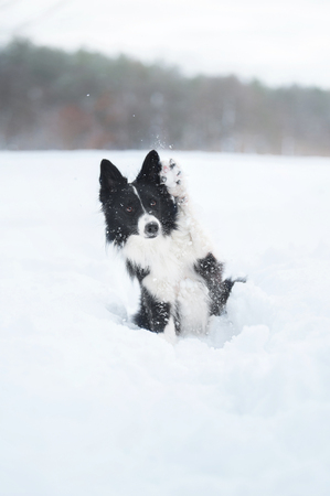Border collie dog sits in the snow with a raised paw Stock Photo
