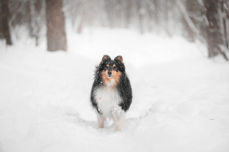 Sheltie dog standing in snow in park