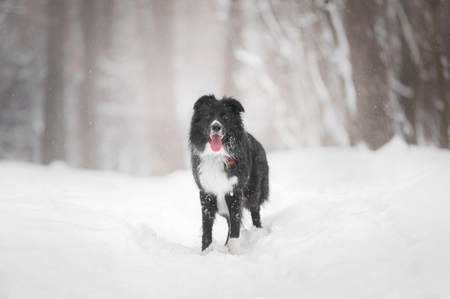 Border collie dog standing in snow Stock Photo