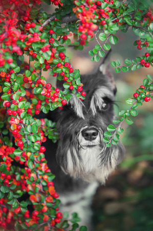 portrait of a schnauzer dog in red berries
