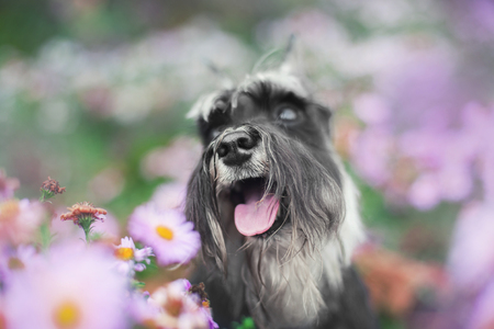 portrait of a schnauzer dog sitting in flower fields Stock Photo