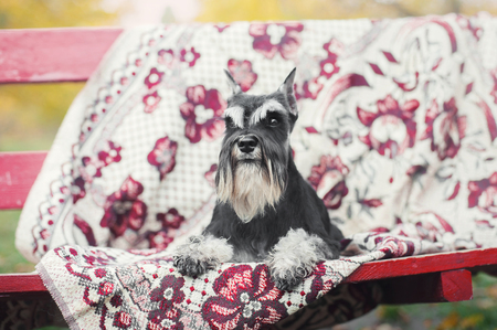 schnauzer dog lies on the carpet on the bench