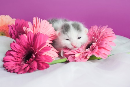 newborn kitten laying on flowers on white and pink background Stock Photo