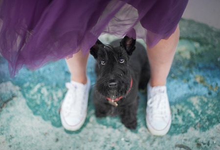 Between the feet of a girl in a purple skirt and white sneakers sitting a cute black scotch terrier dog and looking in camera Stock Photo