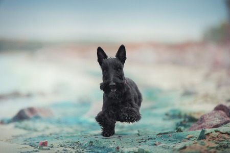 scotch terrier dog running on the beach