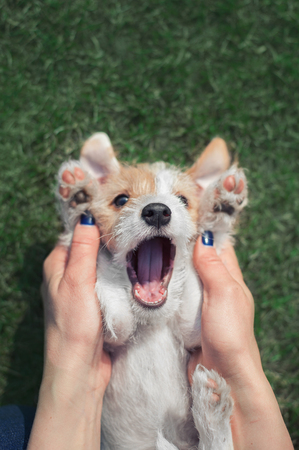 funny portrait of a lying parson russel terrier puppy with raised up paw and human hands