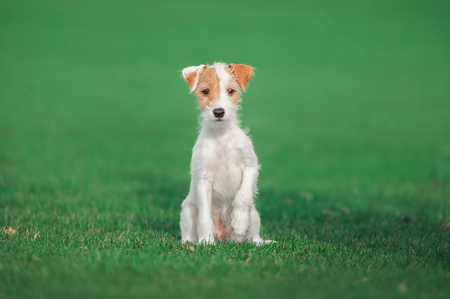cute parson russel terrier puppy sitting on the green grass Stock Photo