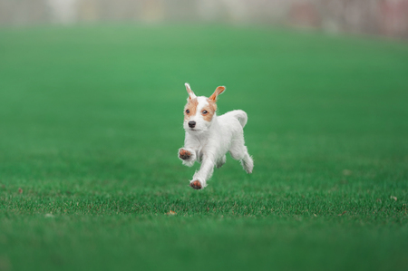 cute parson russel terrier puppy running through the green meadow Stock Photo