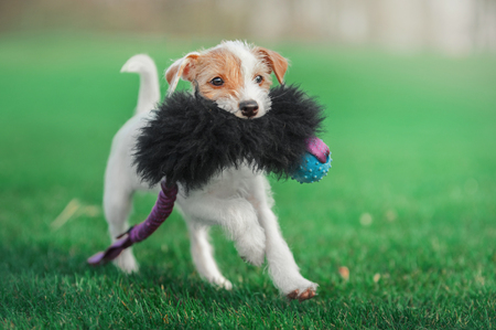 cute parson russel terrier puppy running through the green meadow with toy in his mouth Stock Photo