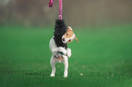 cute parson russel terrier puppy playing with fluffy toy on the green grass Stock Photo