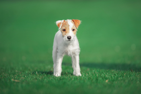 cute parson russel terrier puppy standing on the green grass Stock Photo