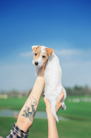 cute parson russel terrier puppy raised up in human hand on the sky background