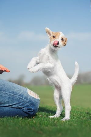 cute parson russel terrier puppy with funny face standing on the hind legs on the green grass