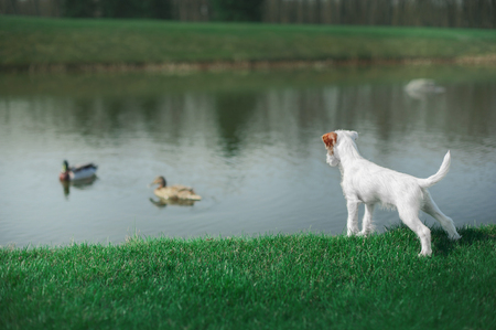 cute parson russel terrier puppy standing by the water and looking at the duck