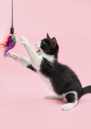 black and white baby cat playing with a feather toy on hind legs on a pink background