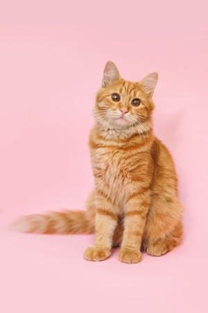 A beautiful red cat sits on a pink background.