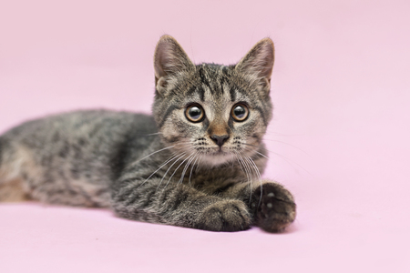 half-breed kitten is laying on a pink background Stock Photo