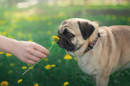 small dog pug sniffing dandelion from the human hand on the green nature background
