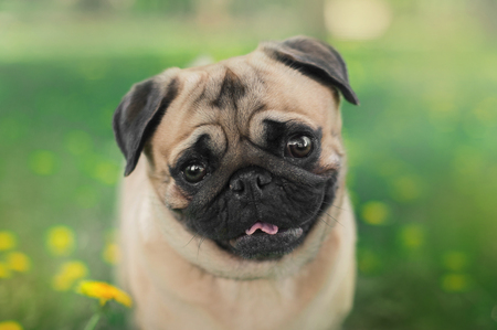 close up portrait of a pug dog on a green nature background Stock Photo