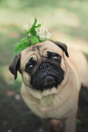 small dog pug with the plant and flowers on his head. Fun pet Stock Photo