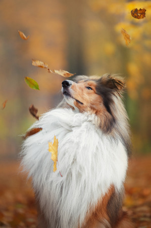 Dog, collie looking at the falling leaves in autumn park