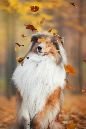 Collie dog sitting with closed eyes under a leaf fall in an autumn park Stock Photo