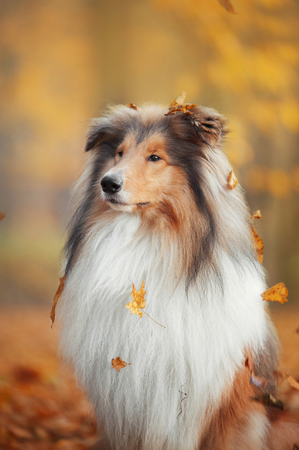 Collie dog sitting under a leaf fall in an autumn park