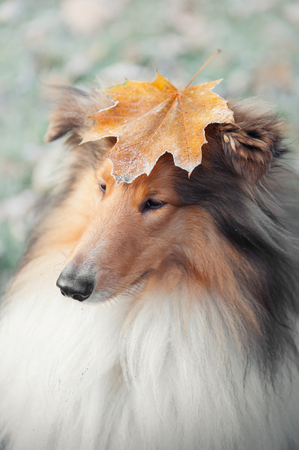 portrait of a collie dog with an autumn leaf on head Stock Photo